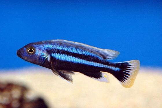 Меланохромис Чипока - Melanochromis chipokae