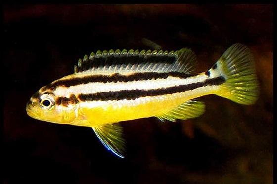 Рыбка попугай золотой