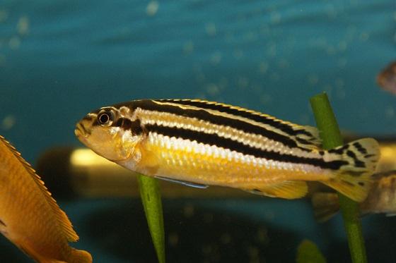 Ауратус - Melanochromis auratus