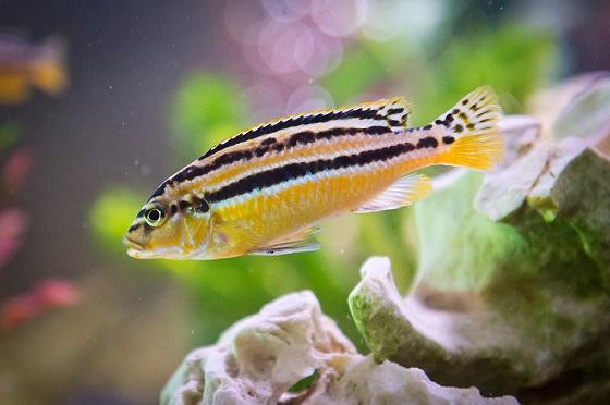 Рыбка попугай золотой - Ауратус