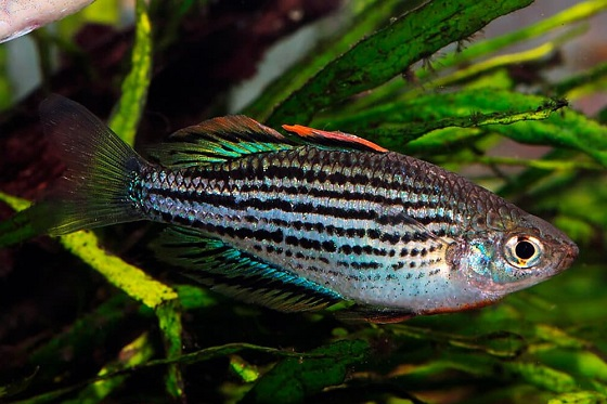 Радужная рыбка - Melanotaenia maccullochi