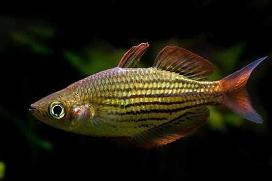 Аквариумная Радужная рыбка