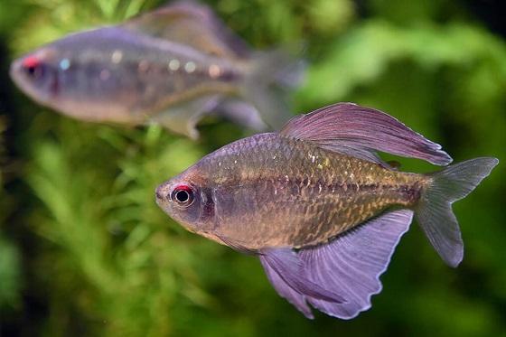 Рыбка Тетра бриллиантовая в аквариуме