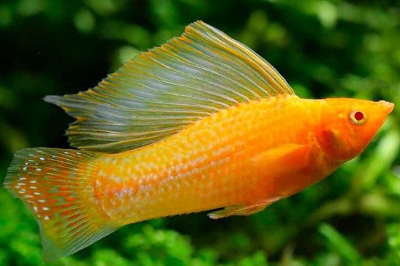 Mollinesia velifera в аквариуме