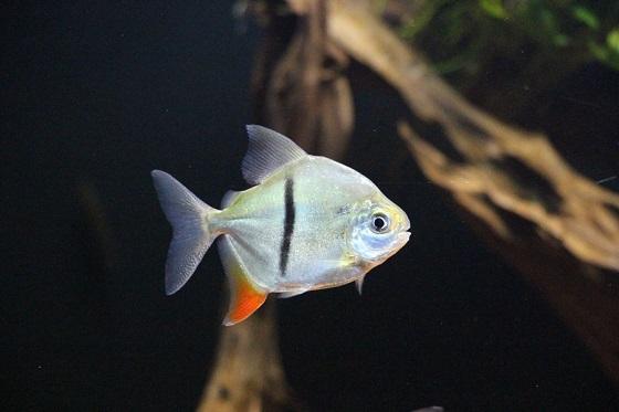 Милеус в аквариуме