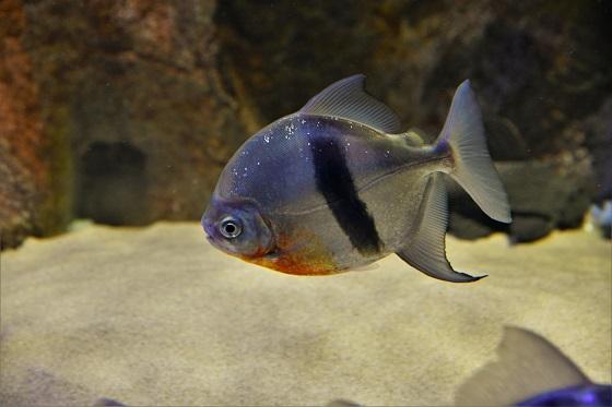 Myleus schomburgkii в аквариуме