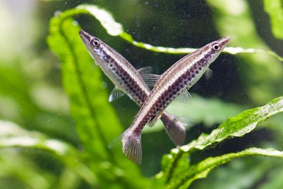 Рыбка Nannostomus eques