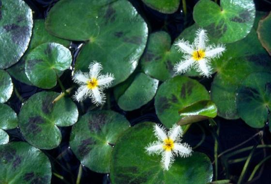 Растение Nymphoides humboldtiana
