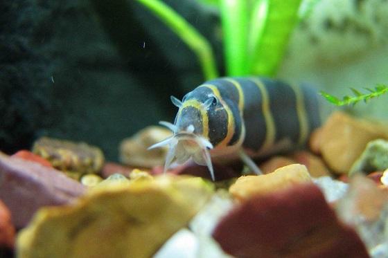 Аквариумная рыбка Pangio kuhlii