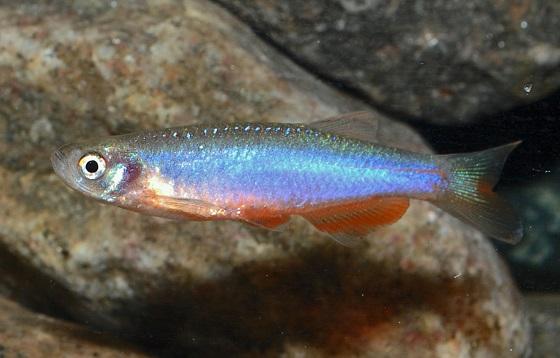Danio roseus в аквариуме