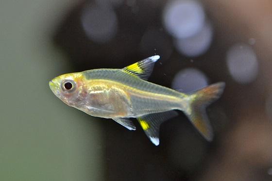 Пристелла - Pristella maxillaris