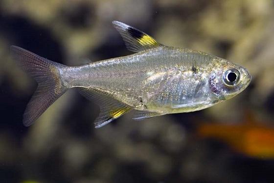 Рыбка Пристелла - Pristella maxillaris