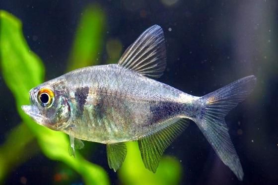 Аквариумная рыбка Пристелла