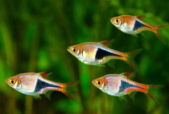 Рыбка Расбора клинопятнистая
