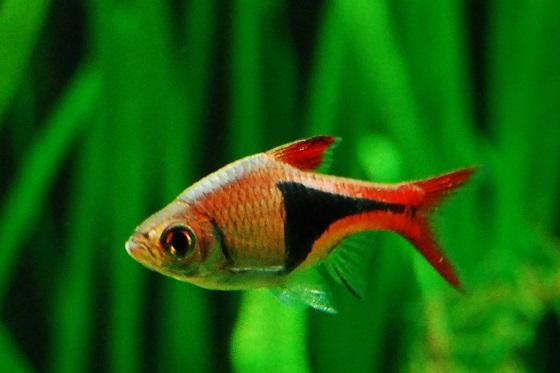 Рыбка Rasbora heteromorpha