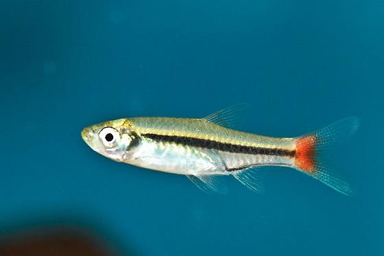 Расбора краснохвостая - Rasbora borapetensis