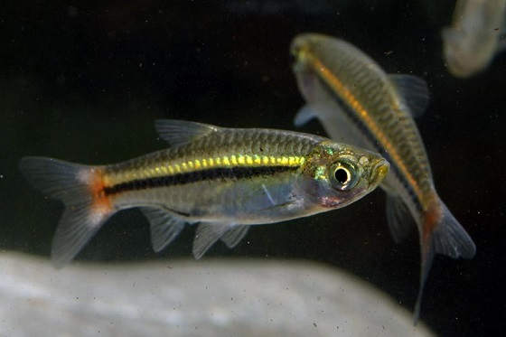 Рыбка Расбора краснохвостая