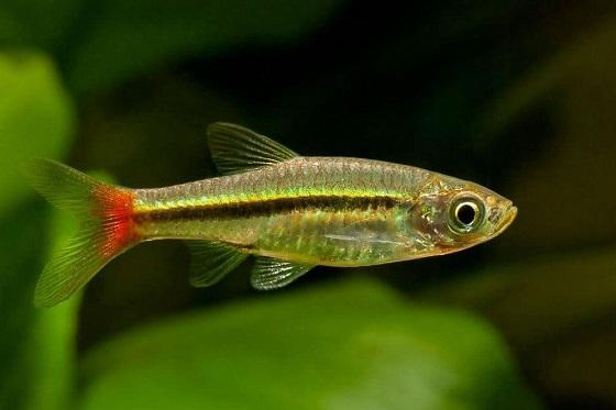 Rasbora borapetensis в аквариуме