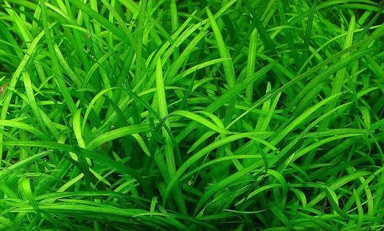 Растение Сагиттария субулата