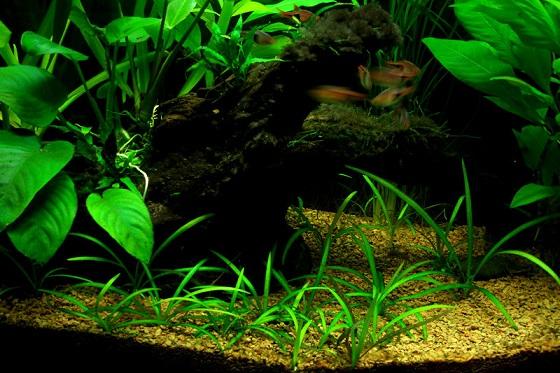 Стрелолист шиловидный - Sagittaria Subulata