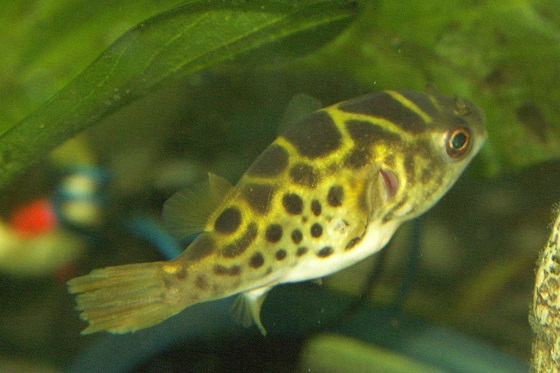 Тетрадон зеленый - Tetraodon fluviatilis