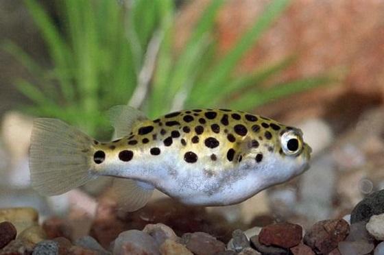 Рыбка Тетрадон зеленый