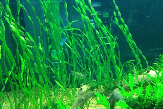 Валлиснерия спиральная в аквариуме