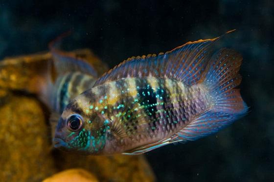 Рыбка Акара голубовато-пятнистая
