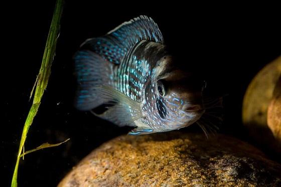 Рыбка Aequidens pulcher