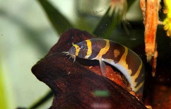Pangio kuhlii в аквариуме