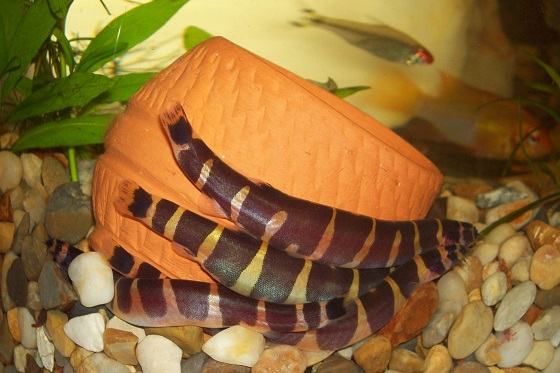 Рыбка Акантофтальмус Кюля