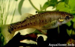 allodontichthys tamazulae