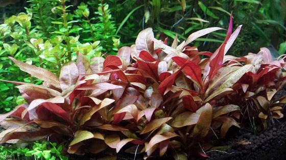 Alternanthera lilacina в аквариуме