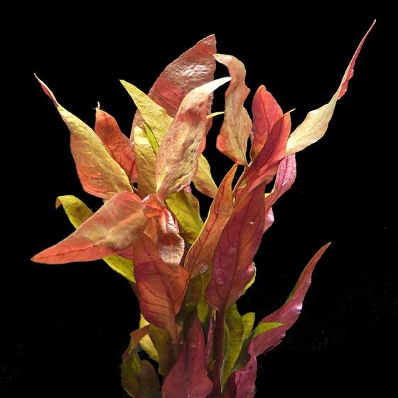 Растение Альтернантера лиловая