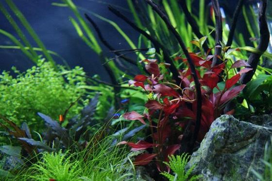 Растение Альтернантера сидячая