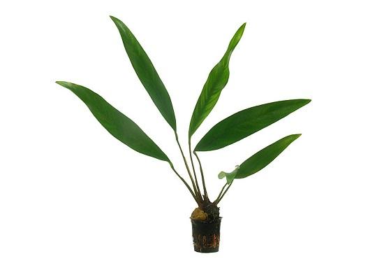 Анубиас узколистный - Anubias lanceolata