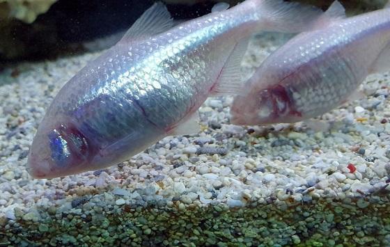 Астианакс мексиканский - Слепая рыба