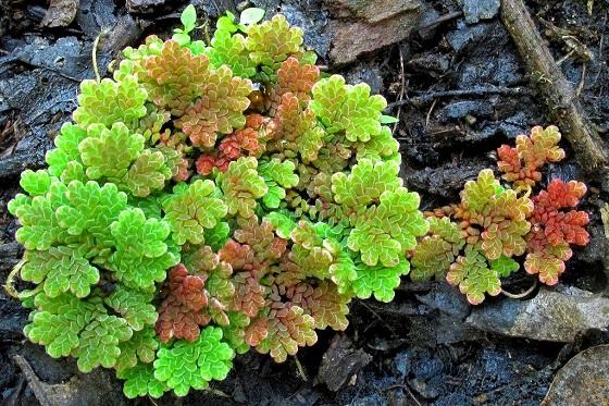 Растение Азолла каролинская