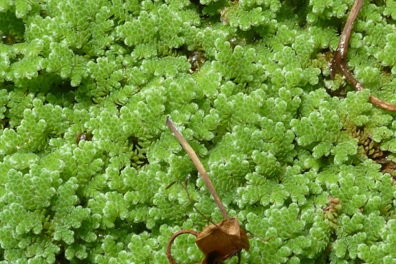 Растение Azolla caroliniana