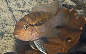 Бухуркуина перуанская