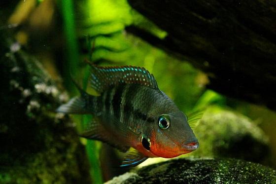 Рыбка Cichlasoma meeki