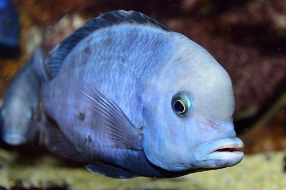 Аквариумная рыбка Дельфин голубой
