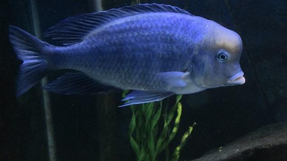 Аквариумная рыбка Cyrtocara moorei