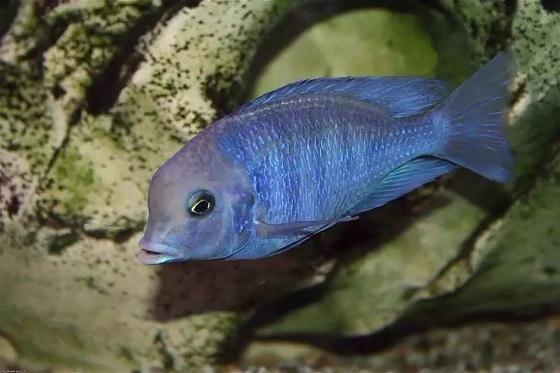 Дельфин голубой в аквариуме