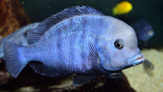 Рыбка Дельфин голубой