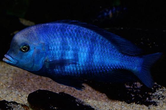 Cyrtocara moorei в аквариуме