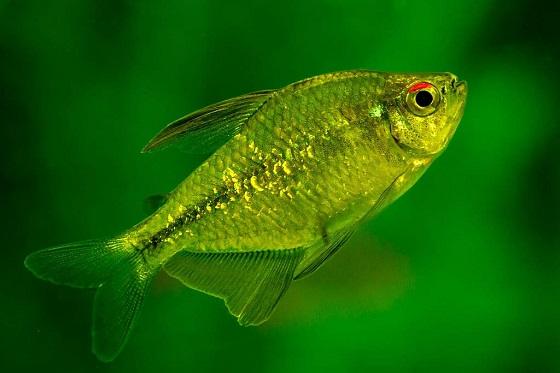 Рыбка Тетра бриллиантовая