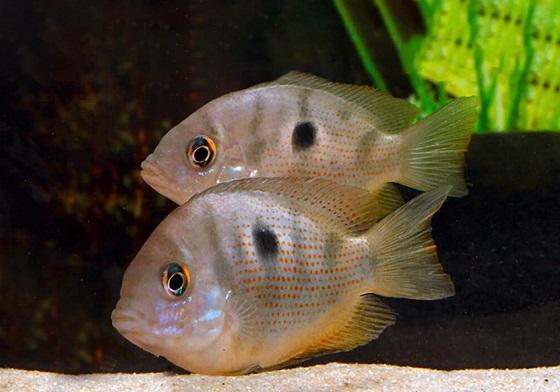 Аквариумная рыбка Этроплюс пятнистый