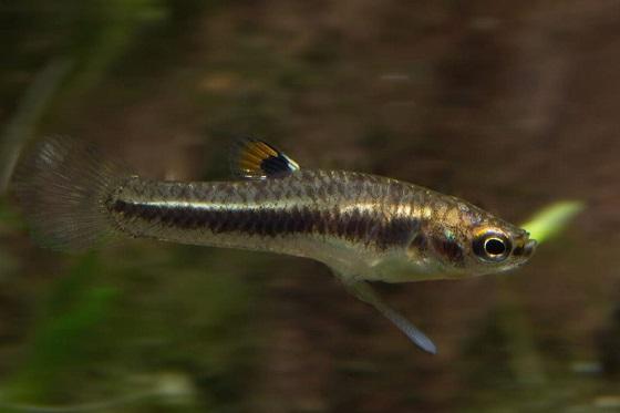 Рыбка Heterandria formosa