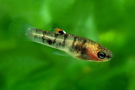 Аквариумная рыбка Heterandria formosa